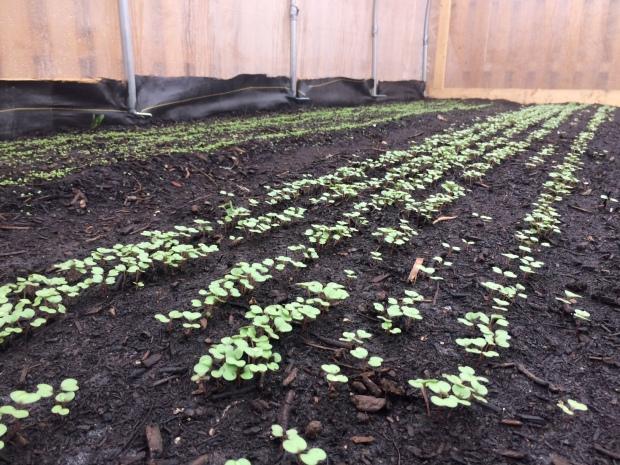 Red Russian Kale & Arugula Growth